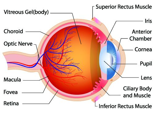 Human eye anatomy