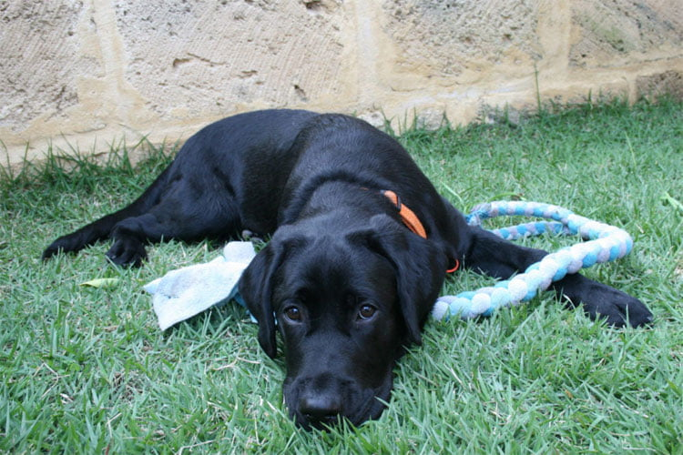 Onyx, black Labrador Guide Dog lies on grass looking relaxed