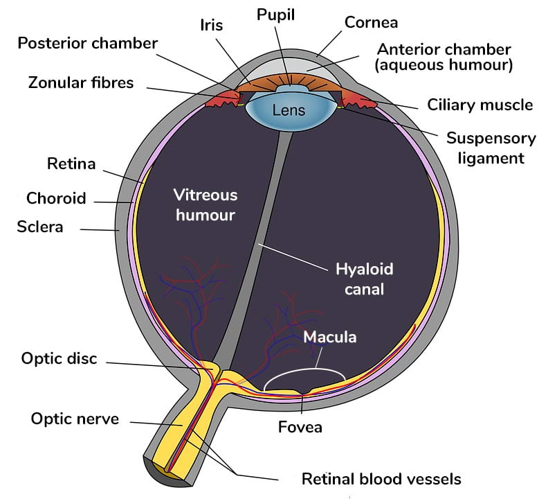Diagram of the structure of the eye